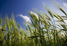 域绿色麦子 免版税库存照片
