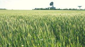 域绿色黑麦 影视素材