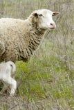 域羊羔 免版税库存图片