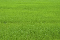 域草绿色米 库存图片