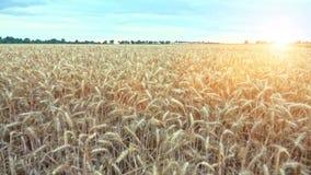 域被收获的准备好对麦子 股票录像