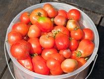 域被采摘的蕃茄顶视图 库存图片