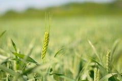 域谷物绿色黑麦 免版税图库摄影