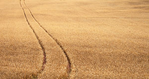 域跟踪麦子 库存照片