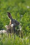 域野兔 免版税库存图片