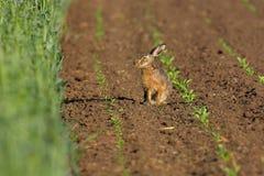 域野兔 库存图片