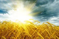 域金黄在日落麦子 免版税图库摄影