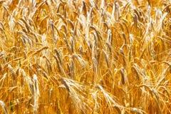 域金黄成熟麦子 免版税图库摄影