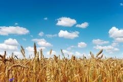 域金黄成熟麦子 免版税库存照片