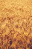 域金黄麦子 免版税图库摄影