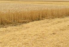 域金黄麦子 免版税库存图片