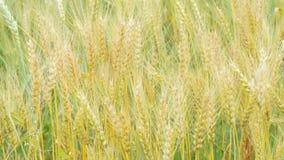 域金黄麦子 影视素材