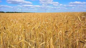 域金黄麦子 股票视频