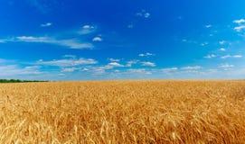 域金黄麦子 库存照片