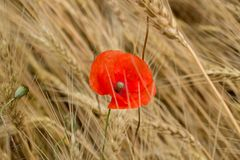 域鸦片红色麦子 图库摄影
