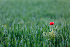 域鸦片红色麦子 库存照片