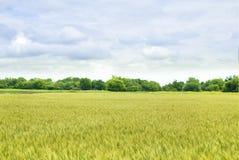 域麦子黄色 库存图片