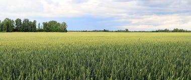 域麦子 免版税库存图片