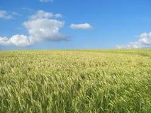 域麦子 免版税图库摄影