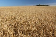 域麦子 免版税库存照片