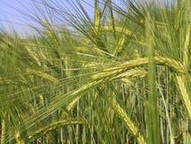 域黑麦 免版税库存照片