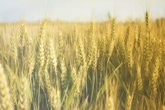 域晴朗的麦子 免版税库存照片
