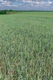 域以色列麦子 免版税库存图片
