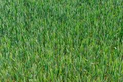 域以色列麦子 库存图片