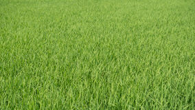 域绿色米 免版税库存照片