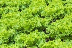 域绿色蔬菜 免版税库存图片