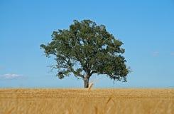 域nd结构树麦子 免版税库存图片