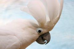 培养它的冠的一只惊奇的白色美冠鹦鹉的醒目的头用羽毛装饰 免版税库存图片