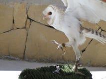 培养它的翼的谷仓猫头鹰 免版税库存图片