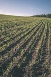 培养的麦田在夏天-葡萄酒减速火箭的神色 库存照片