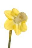 培育品种唯一黄水仙的花 免版税库存图片