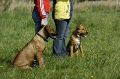 培训年轻人的狗 免版税图库摄影