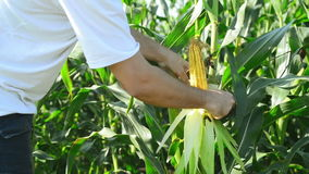培养的农业麦地的农夫审查年轻玉米棒子的在收获季节前 股票录像