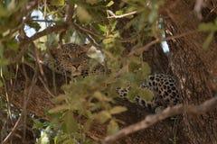 基于一个分支的豹子在Ruaha国家公园 免版税库存图片