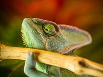 基于一个分支的遮遮掩掩变色蜥蜴Chamaeleo calyptratus在它的栖所 库存照片