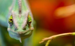 基于一个分支的遮遮掩掩变色蜥蜴Chamaeleo calyptratus在它的栖所 免版税库存图片