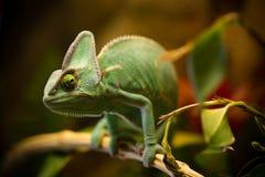 基于一个分支的遮遮掩掩变色蜥蜴Chamaeleo calyptratus在它的栖所 免版税库存照片