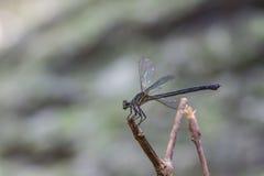 基于一个分支的蜻蜓在森林里 库存照片