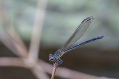 基于一个分支的蜻蜓在森林里 图库摄影