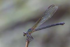 基于一个分支的蜻蜓在森林里 免版税图库摄影