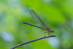 基于一个分支的蜻蜓在森林里 免版税库存图片