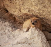 基于一个岩石的岩石非洲蹄兔在Ein Gedi 免版税库存照片