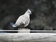 基于一个木岗位的有顶饰鸽子 免版税库存图片
