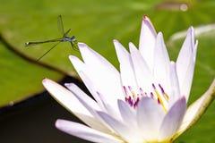 基于一个浪端的白色泡沫百合的天蓝色的蜻蜓 库存图片