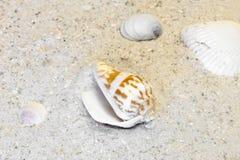 基于一个温暖的海滩的三蛤蜊壳和螺旋壳 免版税库存图片