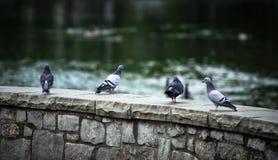 基于一个石岩石的小组鸠在湖旁边 库存照片